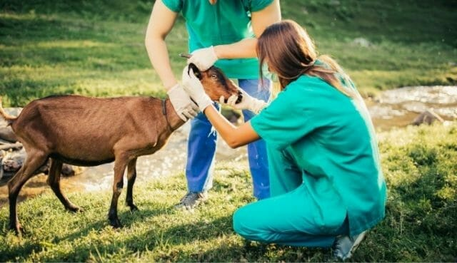Routing Goat Checkup By Experienced Vat