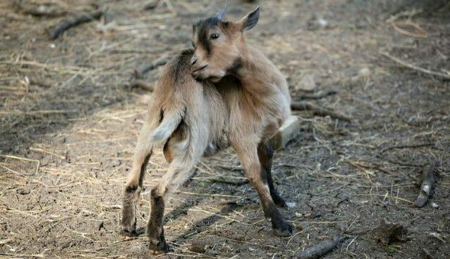The Natural Ways to Get Rid of Lice on Goats
