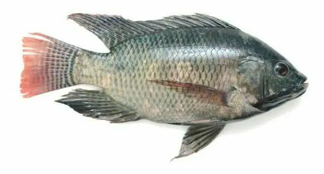 Tilapia - The Best Fish for Small Aquaponics