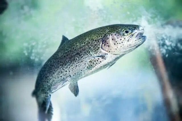 Small Fish for aquaponics farming