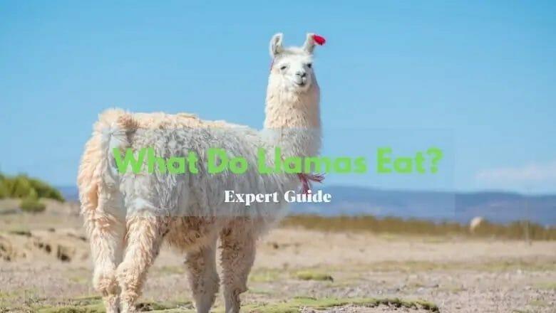 What Do Llamas Eat