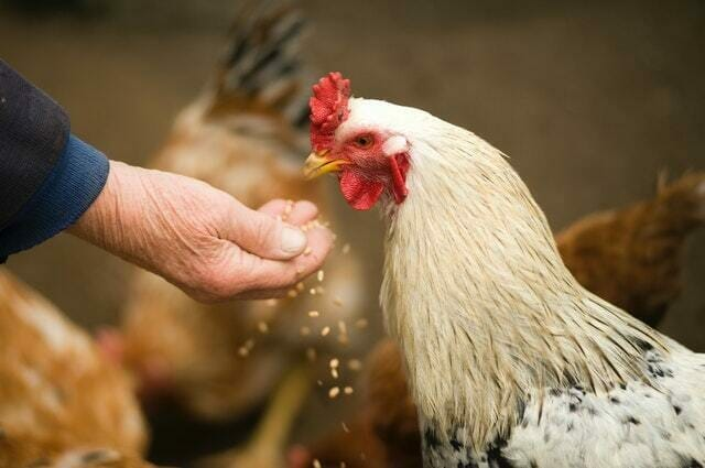 What do Roosters Eat - Learn what to feed