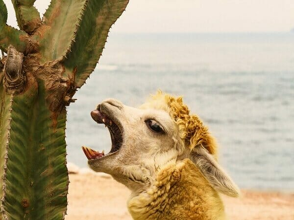 What not to feed llamas