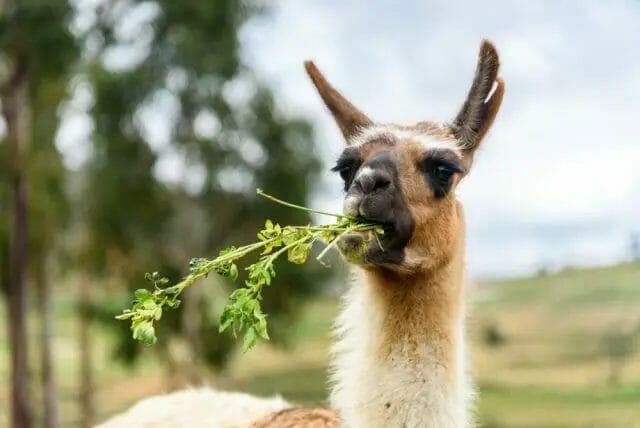 llamas eating green forage