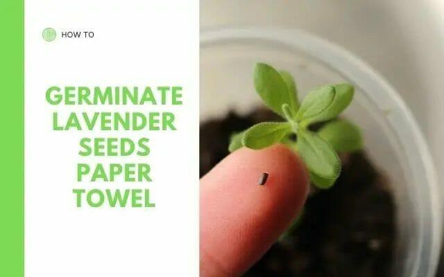 Germinating Lavender Seeds in Paper Towels