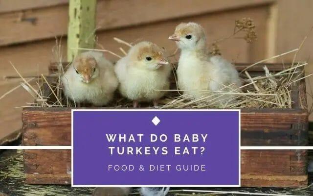 What do Baby Turkeys Eats?