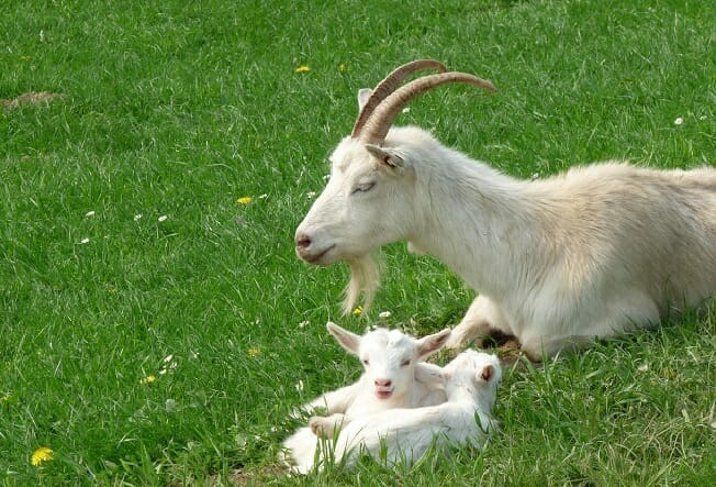 goat not producing milk after kidding