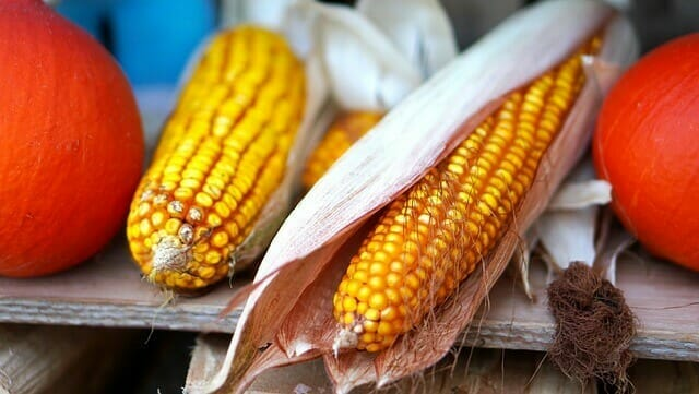 How to Tell if Corn on the Cob is Bad