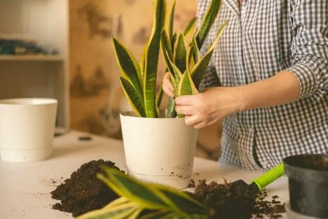 Place snake plant into a new pot