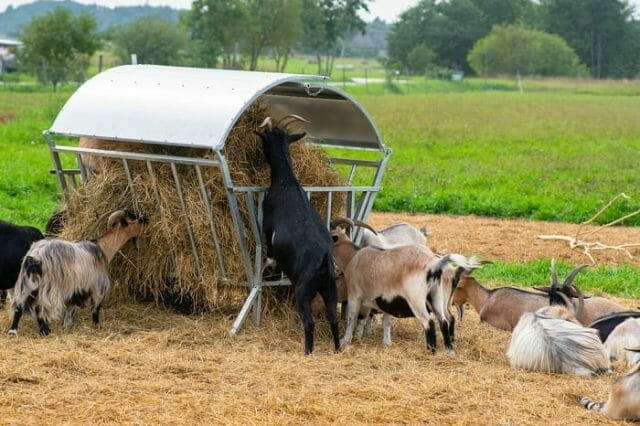 Goats Eating Hay on a Farm