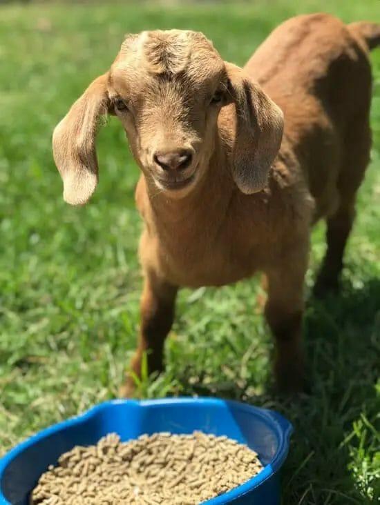 Grain for goats