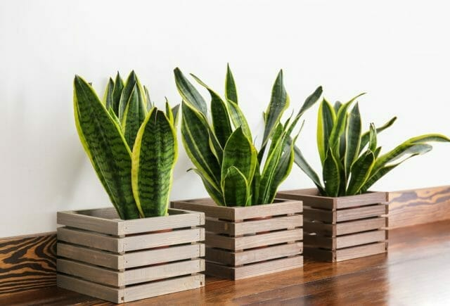 Repot a Snake Plant Step by Step