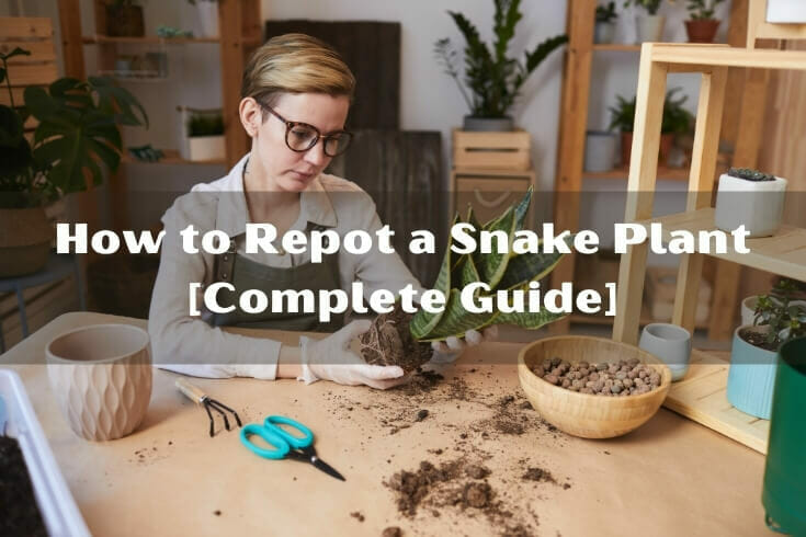 The Guide to Report Snake Plant