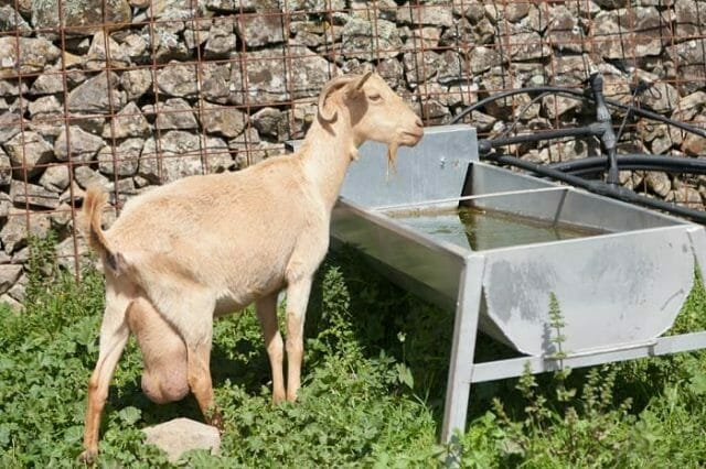 Water and Drinks for Goats
