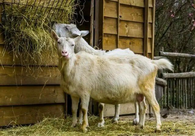 What do Goats Eats