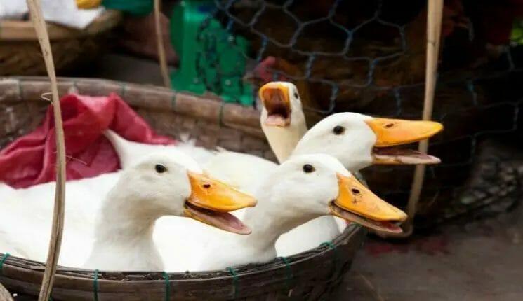 selling ducks on the market